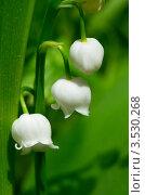 Купить «Ландыш майский (Convallaria majalis)», эксклюзивное фото № 3530268, снято 20 мая 2012 г. (c) Елена Коромыслова / Фотобанк Лори