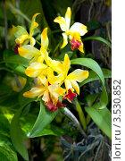 Купить «Орхидея, Тайланд», фото № 3530852, снято 5 сентября 2011 г. (c) ElenArt / Фотобанк Лори