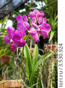 Купить «Орхидея Ванда, Таиланд», фото № 3530924, снято 5 сентября 2011 г. (c) ElenArt / Фотобанк Лори