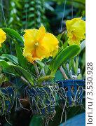 Купить «Орхидея, Тайланд», фото № 3530928, снято 5 сентября 2011 г. (c) ElenArt / Фотобанк Лори