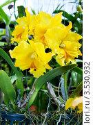 Купить «Орхидея, Таиланд», фото № 3530932, снято 5 сентября 2011 г. (c) ElenArt / Фотобанк Лори
