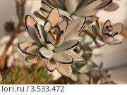 Купить «Каланхоэ войлочное (Kalanchoe tomentosa)», эксклюзивное фото № 3533472, снято 27 марта 2012 г. (c) Татьяна Белова / Фотобанк Лори