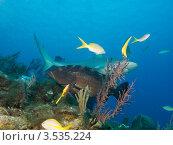 Купить «Карибская рифовая акула (Caribbean reef shark, Carcharhinus perezi) и групер», фото № 3535224, снято 13 декабря 2011 г. (c) Сергей Дубров / Фотобанк Лори