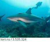 Купить «Карибская рифовая акула (Caribbean reef shark, Carcharhinus perezi) и дайверы», фото № 3535324, снято 15 декабря 2011 г. (c) Сергей Дубров / Фотобанк Лори