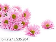 Розовые хризантемы на белом фоне. Стоковое фото, фотограф Peredniankina / Фотобанк Лори