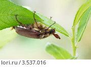 Купить «Майский жук (Melolontha vulgaris) на ветке крупным планом», эксклюзивное фото № 3537016, снято 7 мая 2012 г. (c) Елена Коромыслова / Фотобанк Лори
