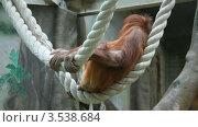 Купить «Обезьяна в зоопарке», видеоролик № 3538684, снято 11 февраля 2009 г. (c) Losevsky Pavel / Фотобанк Лори