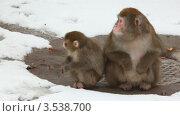 Купить «Взрослая обезьяна с детенышем», видеоролик № 3538700, снято 11 февраля 2009 г. (c) Losevsky Pavel / Фотобанк Лори