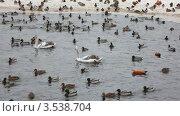 Купить «Птицы на зимнем пруду», видеоролик № 3538704, снято 11 февраля 2009 г. (c) Losevsky Pavel / Фотобанк Лори