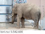 Купить «Московский зоопарк, Слон», эксклюзивное фото № 3542600, снято 7 мая 2012 г. (c) Дмитрий Неумоин / Фотобанк Лори