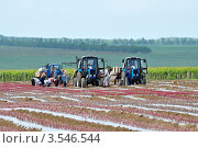 Купить «Таманский полуостров. Восстановление виноградников, высадка молодой лозы», фото № 3546544, снято 23 мая 2012 г. (c) Анна Мартынова / Фотобанк Лори