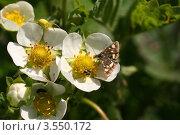 Купить «Клубника цветет», эксклюзивное фото № 3550172, снято 27 мая 2012 г. (c) Щеголева Ольга / Фотобанк Лори