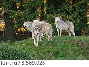 Купить «Стая волков (Canis Lupus)», фото № 3569028, снято 11 октября 2010 г. (c) Василий Фирсов / Фотобанк Лори
