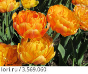 Тюльпаны. Стоковое фото, фотограф Светлана Брындина / Фотобанк Лори