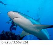 Купить «Карибская рифовая акула (Caribbean reef shark, Carcharhinus perezi)», фото № 3569524, снято 14 декабря 2011 г. (c) Сергей Дубров / Фотобанк Лори