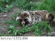 Купить «Уссурийская енотовидная собака ( Nyctereutes procyonoides)», эксклюзивное фото № 3572896, снято 6 июня 2012 г. (c) syngach / Фотобанк Лори