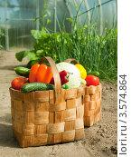 Купить «Корзинка со свежими овощами стоит в теплице», фото № 3574864, снято 12 июня 2011 г. (c) Дарья Филимонова / Фотобанк Лори