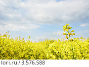 Купить «Рапсовое поле», фото № 3576588, снято 16 мая 2012 г. (c) Дмитрий Калиновский / Фотобанк Лори