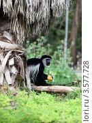 Купить «Гиббон под пальмой с апельсином», фото № 3577728, снято 7 апреля 2012 г. (c) Татьяна Белова / Фотобанк Лори