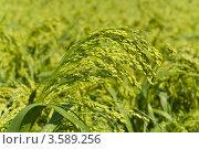 Купить «Поля просо», фото № 3589256, снято 13 июня 2012 г. (c) Сергей Колесников / Фотобанк Лори