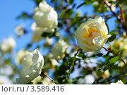 Купить «Цветение шиповника», фото № 3589416, снято 1 июня 2012 г. (c) Яков Филимонов / Фотобанк Лори