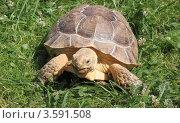 Шпороносная черепаха (Geochelone sulcata) Стоковое фото, фотограф Светлана Зотеева / Фотобанк Лори
