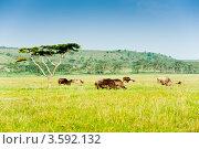 Купить «Саванна. Буйволы. Кения», фото № 3592132, снято 7 июня 2012 г. (c) Екатерина Овсянникова / Фотобанк Лори