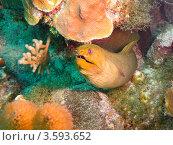Купить «Зеленая мурена (Green moray  / Gymnothorax funebris) в расщелине под кораллом», фото № 3593652, снято 13 декабря 2011 г. (c) Сергей Дубров / Фотобанк Лори