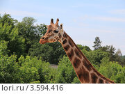 Профиль жирафа. Стоковое фото, фотограф Кутдусова Марина / Фотобанк Лори