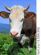 Купить «Корова на летнем пастбище», фото № 3594956, снято 10 июня 2012 г. (c) Швадчак Василий / Фотобанк Лори