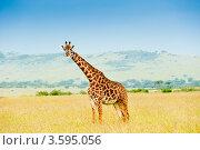 Купить «Жираф. Кения», фото № 3595056, снято 9 июня 2012 г. (c) Екатерина Овсянникова / Фотобанк Лори