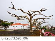 Купить «Платаны с необычной формой кроны», фото № 3595796, снято 3 мая 2012 г. (c) Юлия Бабкина / Фотобанк Лори
