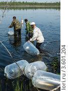 Трое работников рыбного хозяйства выпускают молодняк пеляди. Стоковое фото, фотограф Роман Фомин / Фотобанк Лори