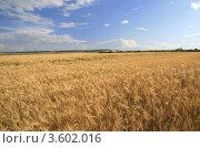 Пейзаж с  пшеничным полем на фоне синего неба. Стоковое фото, фотограф BoLinar / Фотобанк Лори