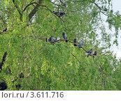 Стая воркующих голубей на ветке дерева. Стоковое фото, фотограф UladzimiR / Фотобанк Лори