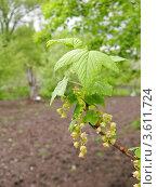 Цветущая ветка смородины на фоне весеннего сада. Стоковое фото, фотограф UladzimiR / Фотобанк Лори