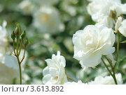 Купить «Белая роза крупным планом», фото № 3613892, снято 6 июня 2012 г. (c) kiyanochka / Фотобанк Лори