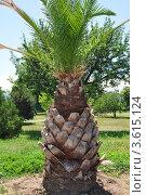 Купить «Пальма в парке Ильичевска», фото № 3615124, снято 11 июня 2012 г. (c) Наталия Попова / Фотобанк Лори