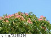 Купить «Цветет альбиция ленкоранская», фото № 3618584, снято 12 июня 2012 г. (c) Федор Королевский / Фотобанк Лори