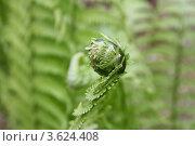 Распускающийся папоротник. Стоковое фото, фотограф Камиля Сайдашева / Фотобанк Лори