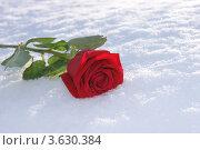 Роза. Стоковое фото, фотограф Марина Пыхова / Фотобанк Лори