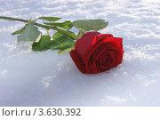 Роза на снегу. Стоковое фото, фотограф Марина Пыхова / Фотобанк Лори