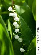 Купить «Ландыши», фото № 3630436, снято 25 мая 2012 г. (c) Andrey Eremin / Фотобанк Лори