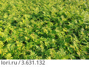 Фон из зелёных листьев. Стоковое фото, фотограф Алексей Макшаков / Фотобанк Лори