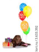 Шарпей с подарком и шариками (2010 год). Редакционное фото, фотограф OksanaOkss / Фотобанк Лори