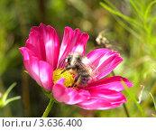 Пчела, собирающая пыльцу. Стоковое фото, фотограф Мамонтова Екатерина Александровна / Фотобанк Лори