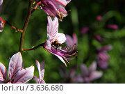 Ясенец голостолбиковый. Стоковое фото, фотограф Михаил Баевский / Фотобанк Лори