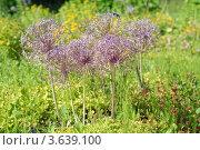 Купить «Декоративный лук», эксклюзивное фото № 3639100, снято 1 июля 2012 г. (c) Svet / Фотобанк Лори