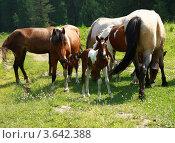 Лошади. Стоковое фото, фотограф Ворошилова Анна / Фотобанк Лори