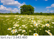 Ромашковое поле. Стоковое фото, фотограф Андрей Дюжечкин / Фотобанк Лори